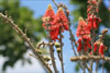 erythrina abyssinica ssp. mossambiensis